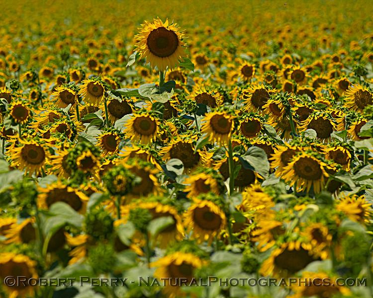 Helianthus californicus Sunflowers 2021 06-15 Yolo Cnty--036