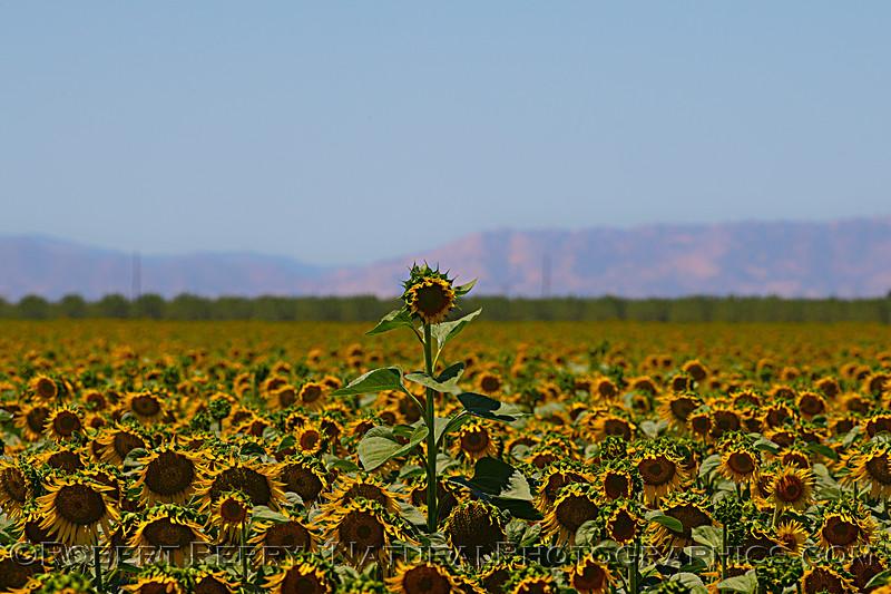 Helianthus californicus Sunflowers 2021 06-15 Yolo Cnty--043