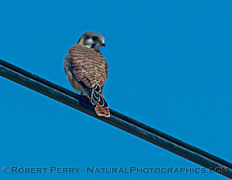 Falco sparverius on wire 2021 06-15 Yolo Cnty--001