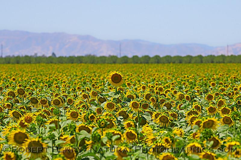 Helianthus californicus Sunflowers 2021 06-15 Yolo Cnty--038