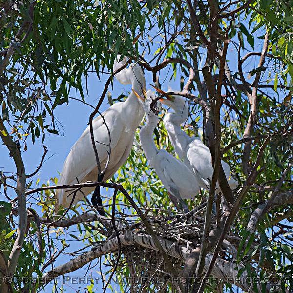 Ardea alba parent & offspring CLOSE nesting site SQUARE 2021 06-15 Yolo Cnty--347