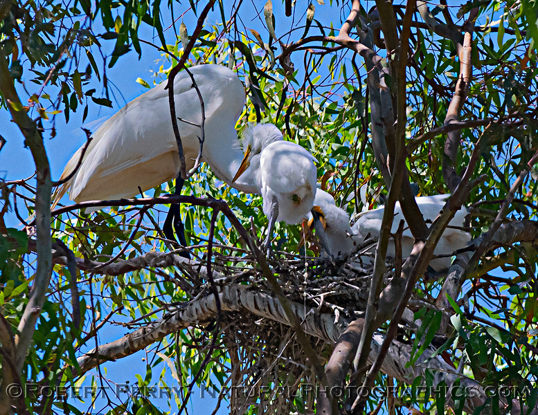 Ardea alba nesting site 2021 06-15 Yolo Cnty--310