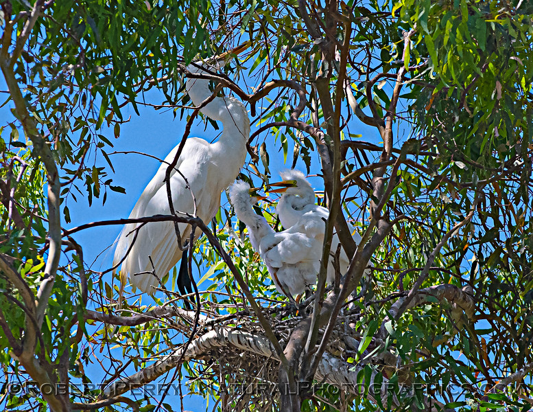 Ardea alba nesting site 2021 06-15 Yolo Cnty--453