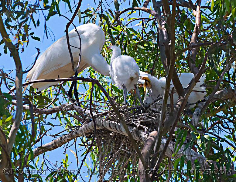 Ardea alba nesting site 2021 06-15 Yolo Cnty--307