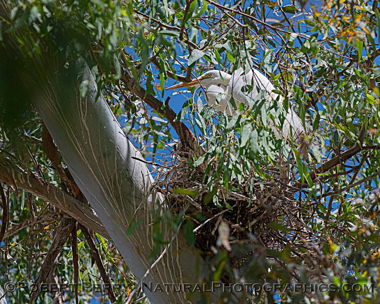 Ardea alba nesting site 2021 06-15 Yolo Cnty--120