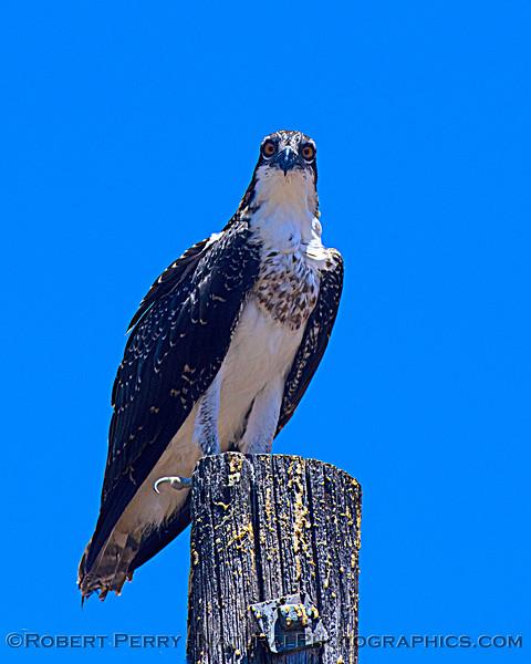 Pandion haliaetus Osprey nests 2021 07-02 Glenn Cnty--265