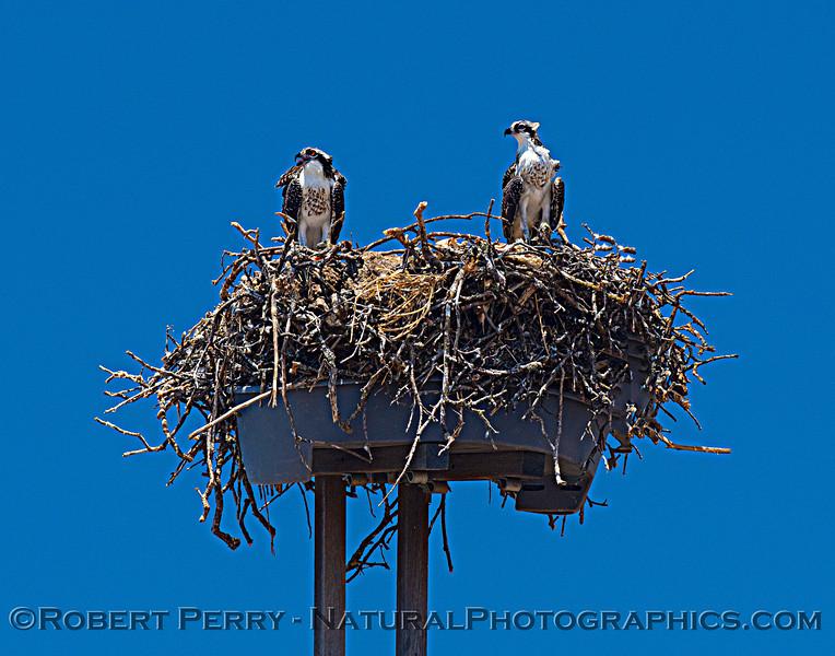Pandion haliaetus Osprey nests 2021 07-02 Glenn Cnty--397