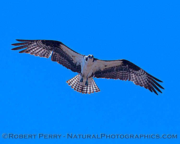 Pandion haliaetus Osprey in flight 2021 07-02 Glenn Cnty--020