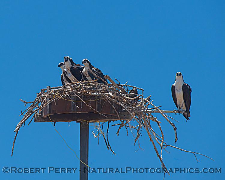 Pandion haliaetus Osprey nests 2021 07-02 Glenn Cnty--023