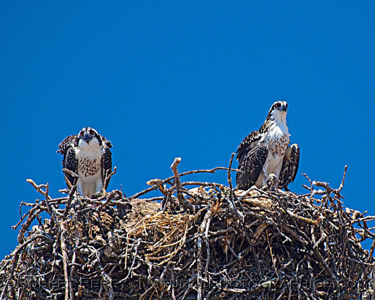 Pandion haliaetus Osprey nests 2021 07-02 Glenn Cnty--329
