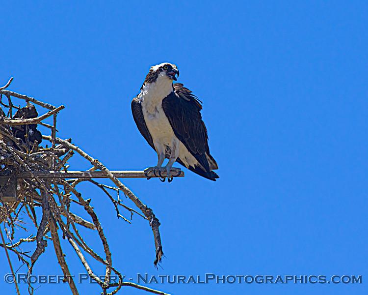 Pandion haliaetus Osprey nests 2021 07-02 Glenn Cnty--160
