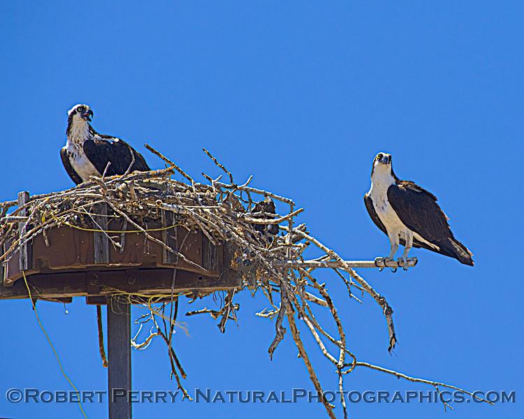 Pandion haliaetus Osprey nests 2021 07-02 Glenn Cnty--081