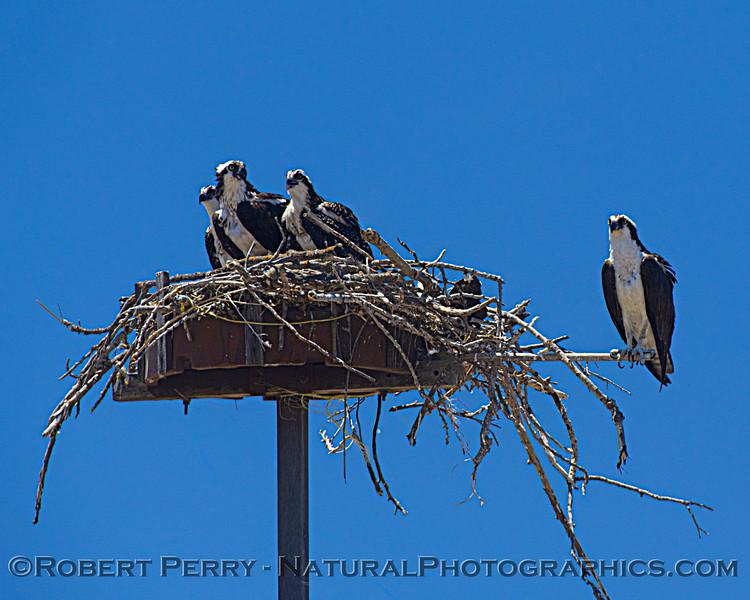 Pandion haliaetus Osprey nests 2021 07-02 Glenn Cnty--018