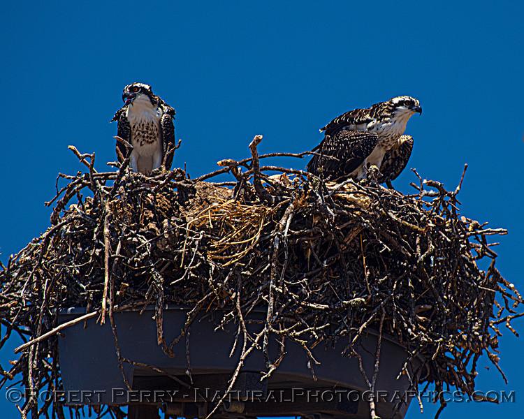Pandion haliaetus Osprey nests 2021 07-02 Glenn Cnty--349