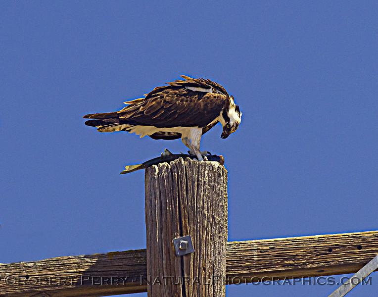 Pandion haliaetus Osprey with fish 2021 07-02 Glenn Cnty--581