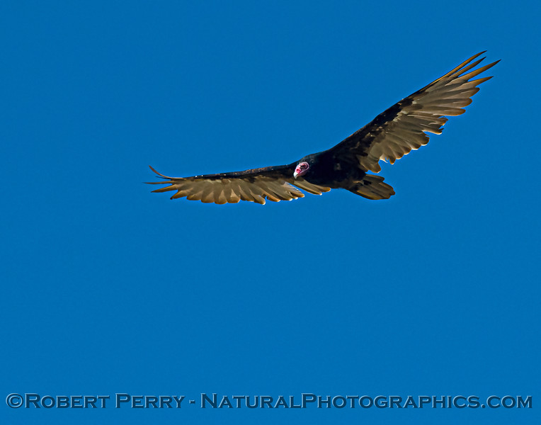 Cathartes aura Turkey vulture 2021 07-17 Yolo ByPass--014