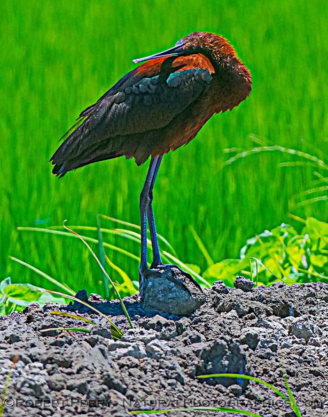 Plegadis chihi White-faced ibis 2021 07-17 Yolo ByPass--045