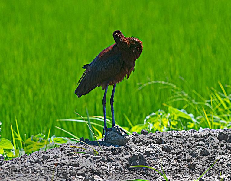 Plegadis chihi White-faced ibis 2021 07-17 Yolo ByPass--037