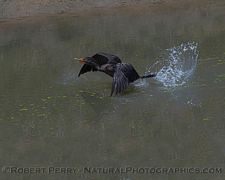 Phalocrocorax auritus Double-crested cormorant 2021 07-17 Yolo ByPass--002