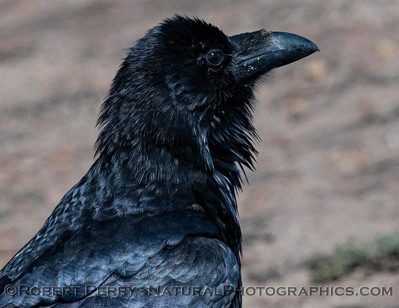Corvus corax Raven 2021 09-28 Pt Arena--004