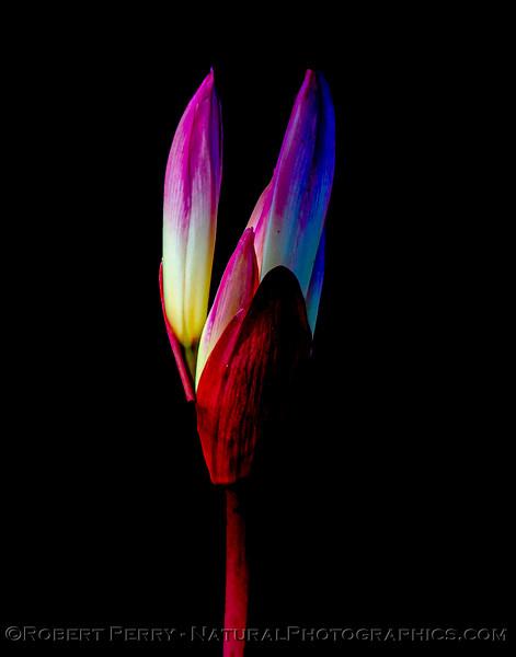 Amaryllis belladonna in cemetery 2021 09-28 Manchester Bch--020