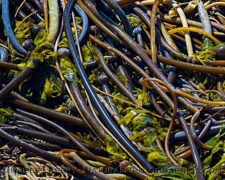 Pelagophycus porra Elk kelp on beach 2021 09-28 Pt Arena--024