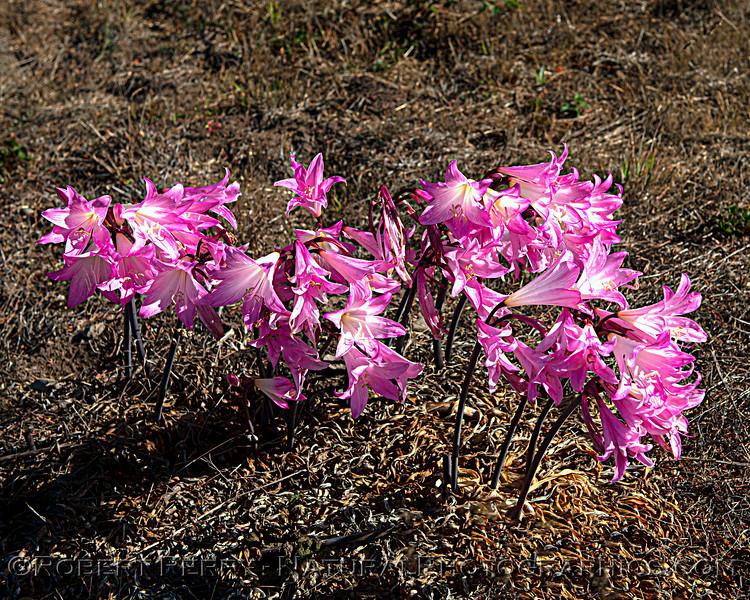 Amaryllis belladonna in cemetery 2021 09-28 Manchester Bch--006