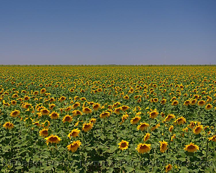 Helianthus fields 2018 06-28 Yolo County--0035
