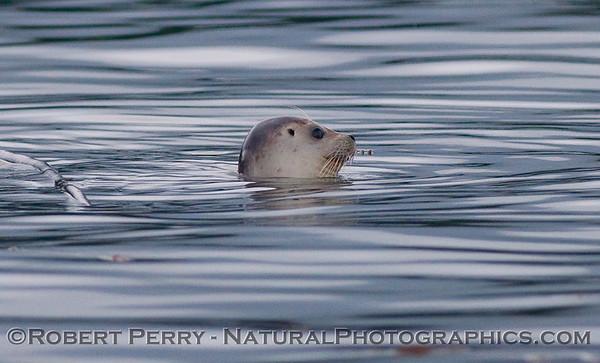 Juvenile Pacific Harbor Seal (<em>Phoca vitulina</em>).