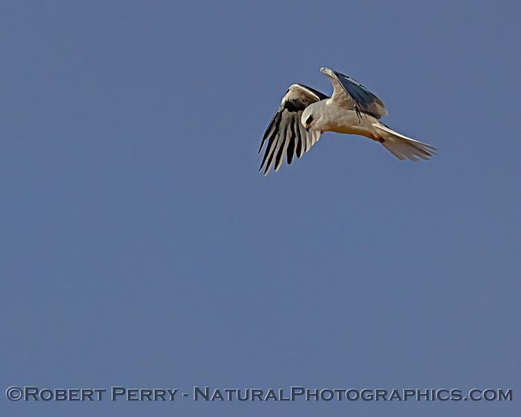 Elanus leucurus hovering 2018 09-29 EDH--461