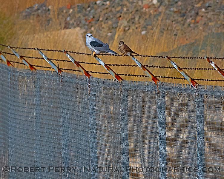 Elanus leucurus feeding on rodent sitting next to Falco sparvarius on fence  2018 09-29 EDH--028