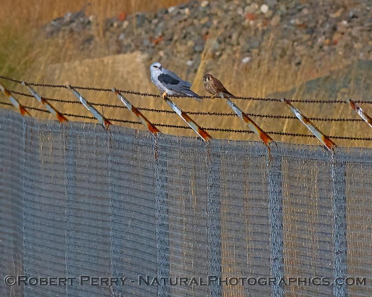 Elanus leucurus feeding on rodent sitting next to Falco sparvarius on fence  2018 09-29 EDH--032