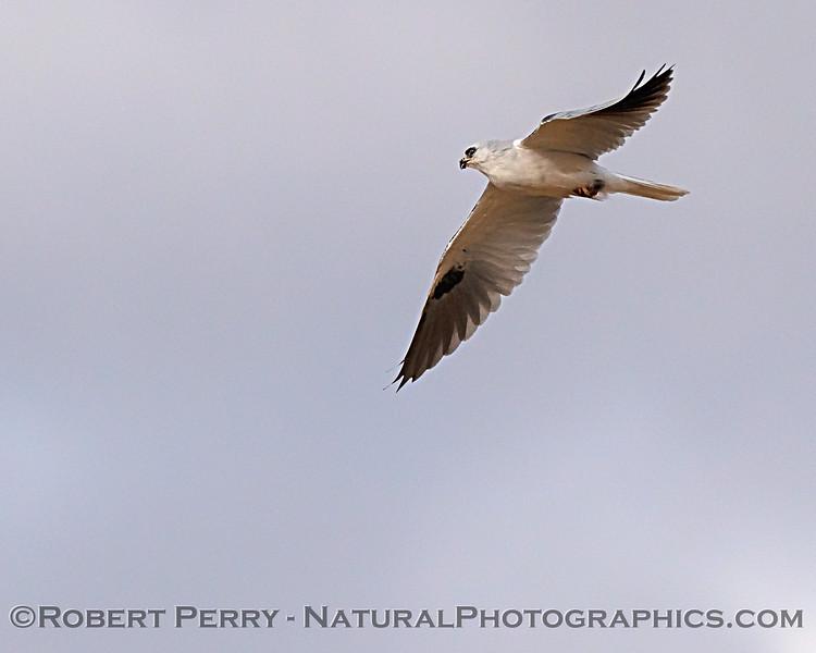 Elanus leucurus in flight with rodent 2018 09-29 EDH--834