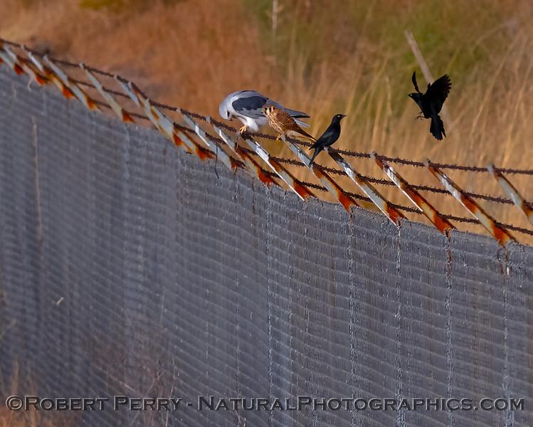 Elanus leucurus feeding on rodent sitting next to Falco sparvarius on fence & Sturnus vulgaris 2018 09-29 EDH--010