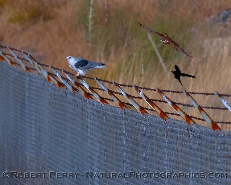 Elanus leucurus feeding on rodent sitting next to Falco sparvarius on fence & Sturnus vulgaris 2018 09-29 EDH--001