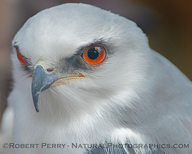 Elanus leucurus White-tailed kite CAPTIVE ANIMAL 2019 02-16 Calif Raptor Ctr--008