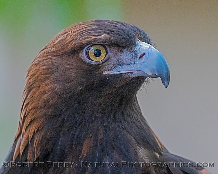 Aquila chrysaetos Golden eagle CAPTIVE ANIMAL 2019 02-16 Calif Raptor Ctr--003
