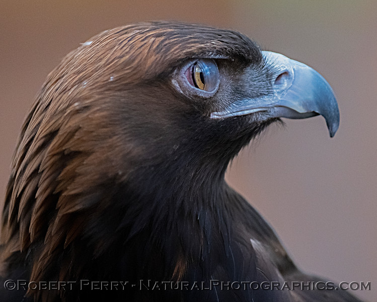 Aquila chrysaetos Golden eagle nictitating membrane CAPTIVE ANIMAL 2019 02-16 Calif Raptor Ctr--078