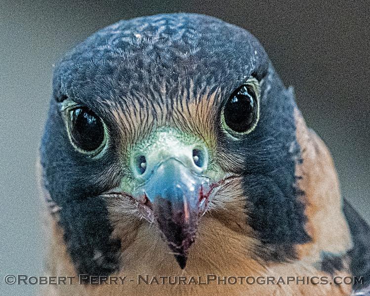 Falco peregrinus Peregrine falcon CAPTIVE ANIMAL 2019 02-16 Calif Raptor Ctr--036