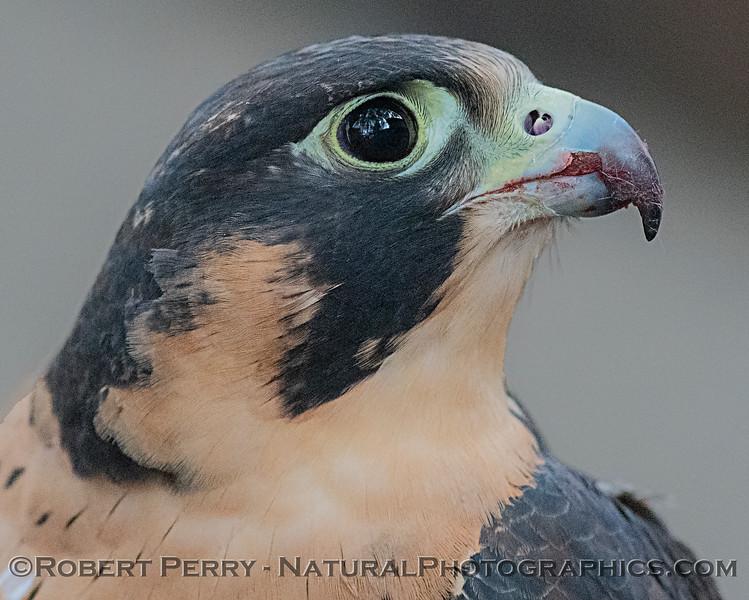 Falco peregrinus Peregrine falcon CAPTIVE ANIMAL 2019 02-16 Calif Raptor Ctr--005
