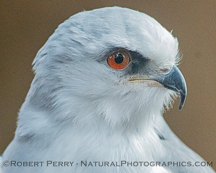 Elanus leucurus White-tailed kite CAPTIVE ANIMAL 2019 02-16 Calif Raptor Ctr--049