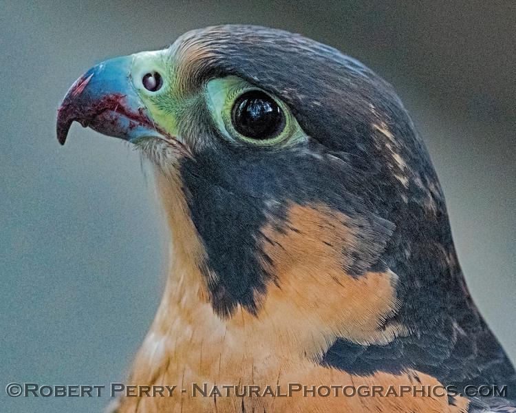 Falco peregrinus Peregrine falcon CAPTIVE ANIMAL 2019 02-16 Calif Raptor Ctr--016