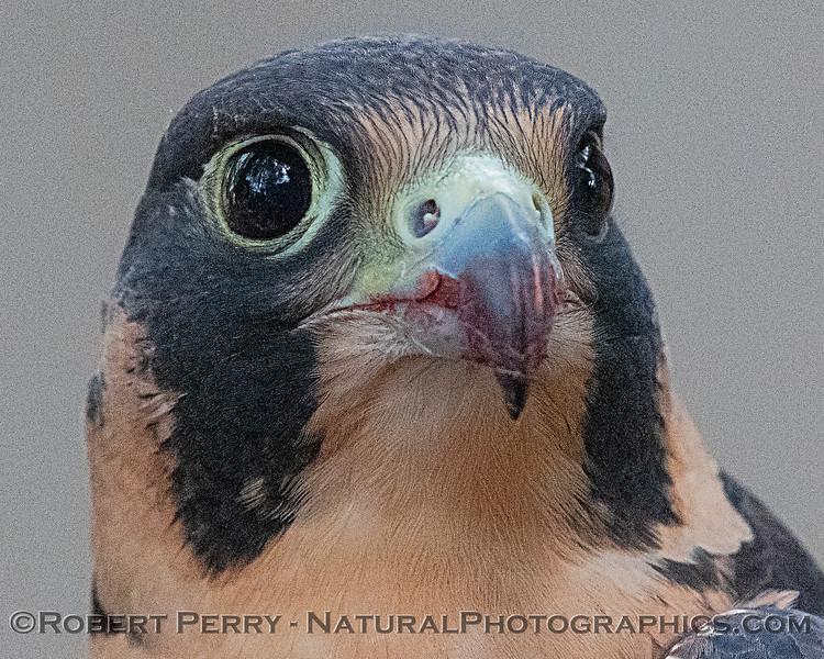 Falco peregrinus Peregrine falcon CAPTIVE ANIMAL 2019 02-16 Calif Raptor Ctr--091