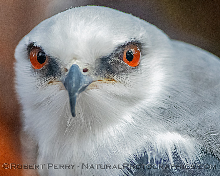 Elanus leucurus White-tailed kite CAPTIVE ANIMAL 2019 02-16 Calif Raptor Ctr--013