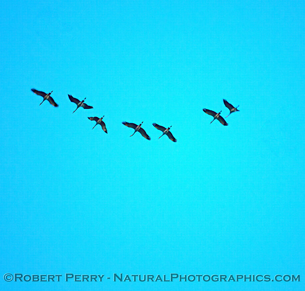 Grus canadensis Sandhill cranes overhead Sunrise 2020 12-10 Llano Seco-wide angle-009