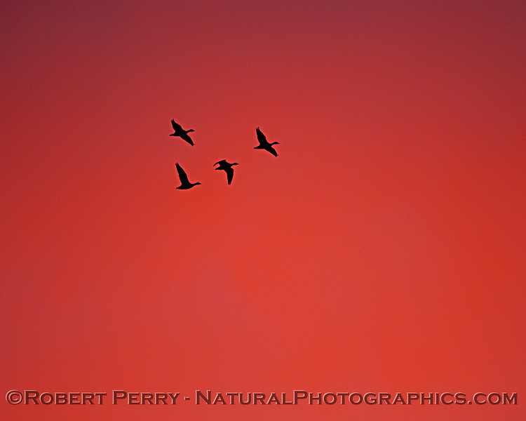 geese silhouettes red sky Sunset 2020 12-09 Sac NWR-012