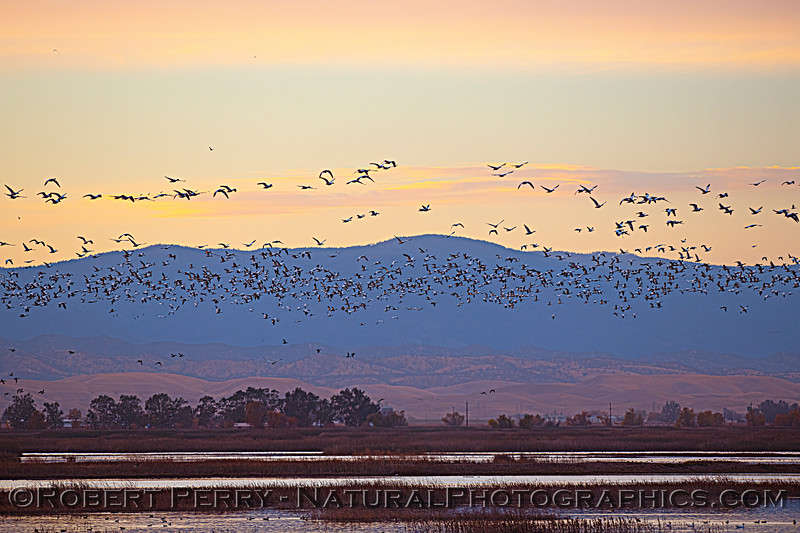 geese masses take flight Sunset 2020 12-09 Sac NWR-018