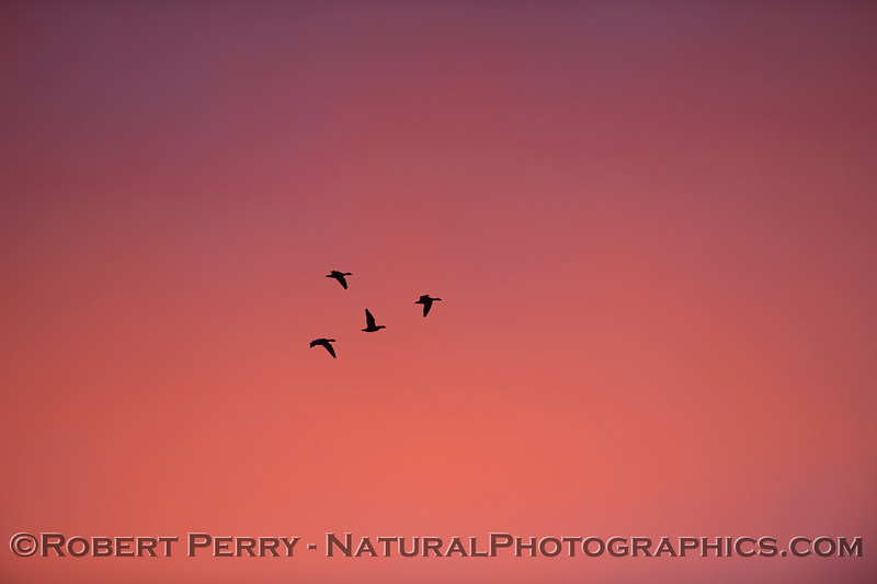 geese red sky Sunset 2020 12-09 Sac NWR-014