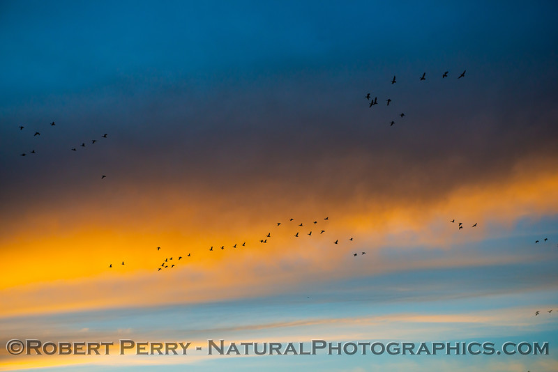 geese flocks in sky Sunset 2020 12-09 Sac NWR-wide-b-017