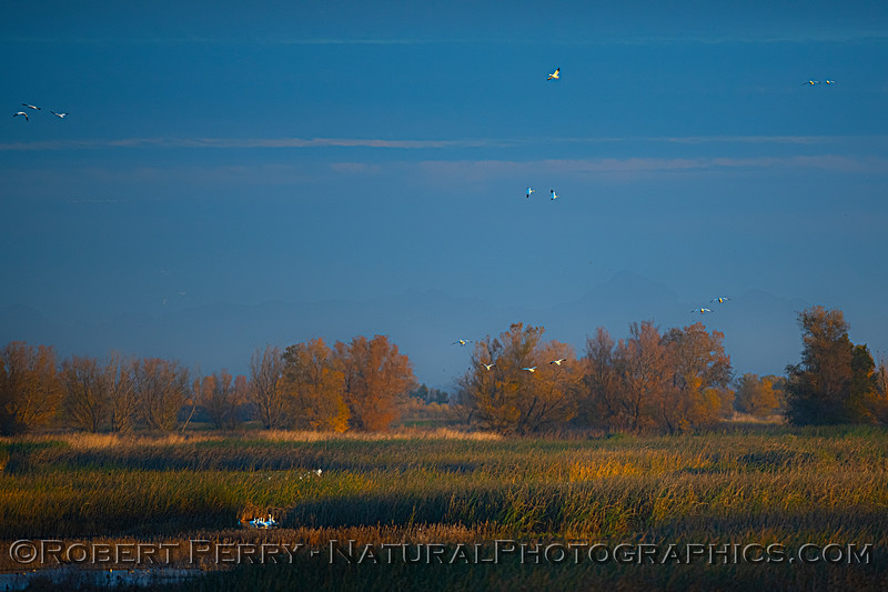 wetlands scenery with Chen caerulescens flocks Sunset 2020 12-09 Sac NWR-001